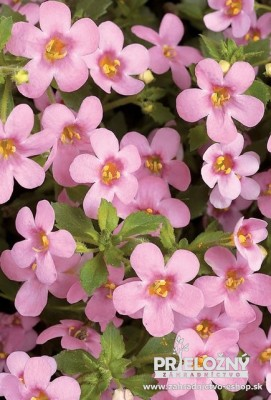 Bacopa Big Pink