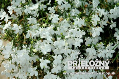 Lobelia White Star