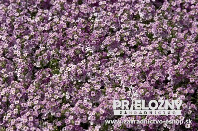 Lobularia Wonderland