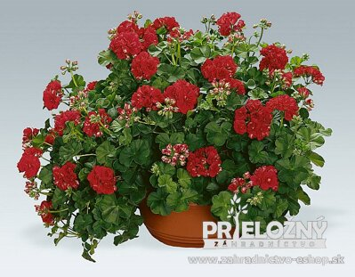 Pelargonium Red Sybil
