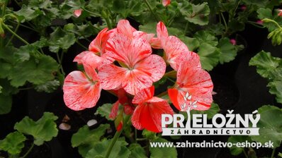 Pelargonium Flic Flac Red