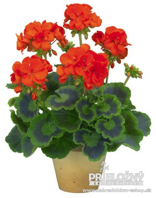 Pelargonium Trend Orange
