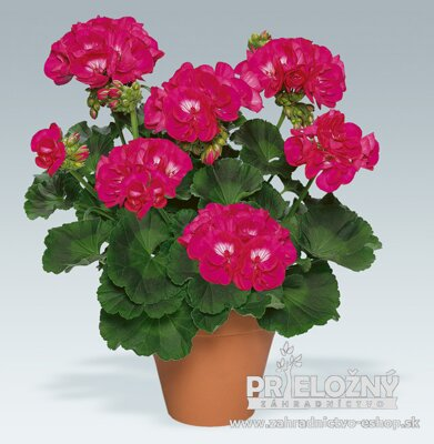 Pelargonium Shocking Violet