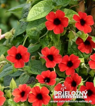 Thunbergia Arizona Dark Red