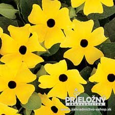 Thunbergia Lemon Star