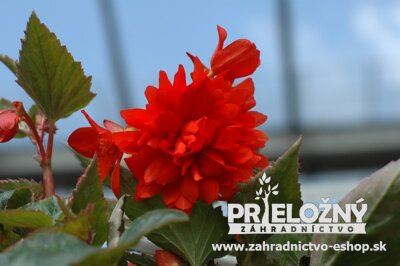 Begonia Belleconia Red