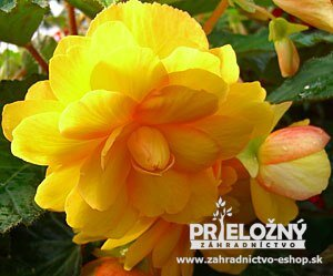 Begonia Chanson Yellow