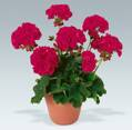 Pelargonium Malocherry
