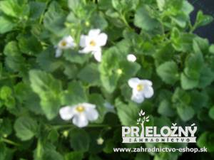 Bacopa Big White
