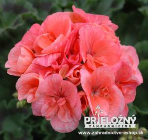 Pelargonium Costa Brava Light Salmon