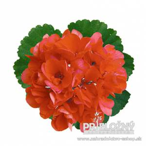 Pelargonium Costa Brava Salmon