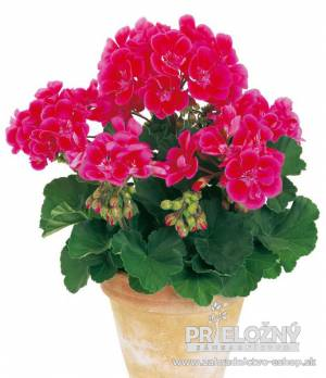 Pelargonium Hot Spot Bajazzo