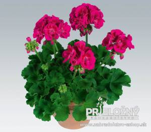 Pelargonium Flower Fairy Berry