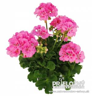 Pelargonium Galileo