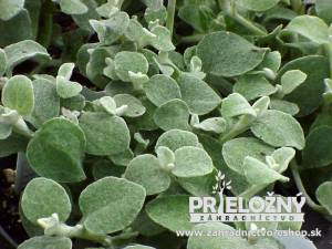 Plectranthus Helichrysum Silver