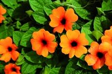 Thunbergia Sunny Suzy Red Orange