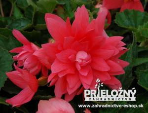 Begonia Belleconia Rose