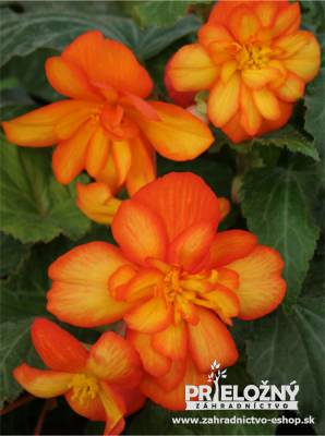 Begonia Chanson Bicolor Orange-Yellow