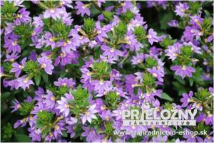 Scaevola New Wonder