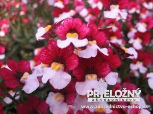 Sunsatia Cherry on Ice (Nemesia)